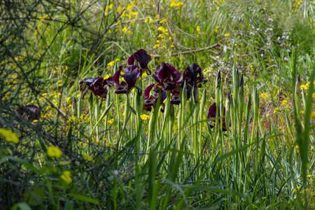 Purple iris flowers and buds in the grass in sun light