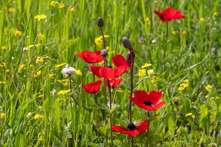 Red anemone flowers and buds in bloom in the grass in the sun closeup 版權商用圖片