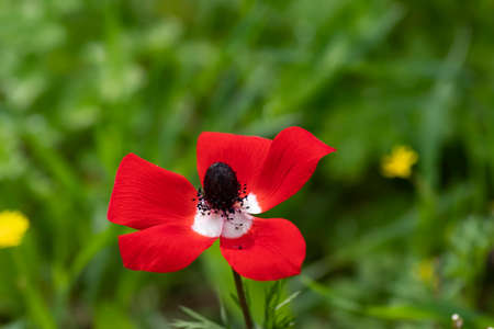 Red wild anemone flower in bloom in the grass in the sun on blurred background close up