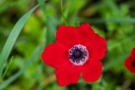 Red wild anemone flower in bloom in the grass in the sun on blurred background