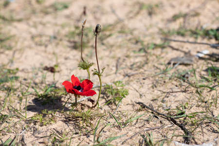Red anemone flower with bud blooming on sandy soil close up