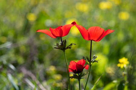 Red wild anemone flowers in bloom in the grass in the sun on blurred background