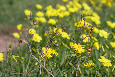 Dry twigs with berries on a background of a field with blooming yellow flowers close up