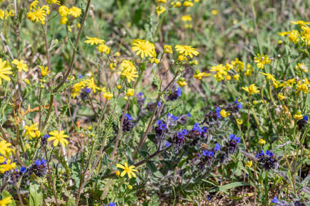 Field of wild blooming yellow and blue flowers close up