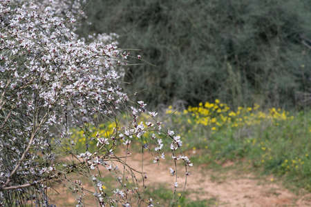 Retama raitam bush with delicate white and pink flowers on a blurred background of trees and yellow flowers