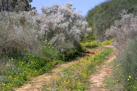 Country road among flowering plants Retama raetam overgrown with yellow flowers. Israel