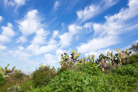 Flowering plants and Sabra cactuses on a background of blue sky with clouds. Israel