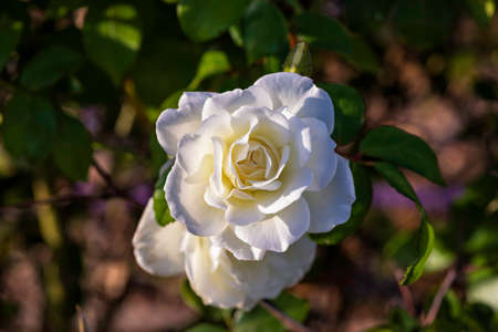 Top view of a blossoming white rose flower  of green foliage Stok Fotoğraf