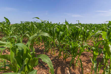 Rows of young green corn shoots on an agricultural field