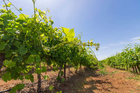Vineyard with rows of vines with ripening grapes against a blue sky with clouds Stok Fotoğraf