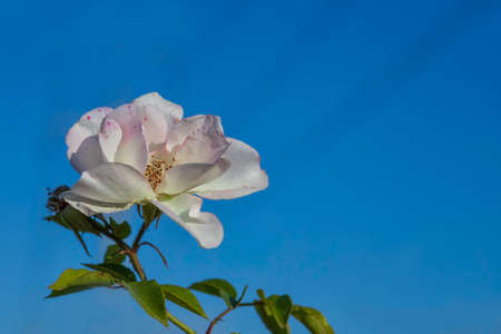 View of a blooming white rose flower head close-up against a blue sky