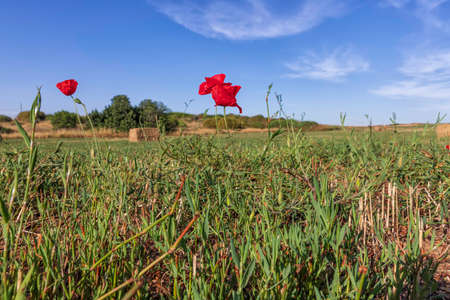 Red poppies flowers among grass on a mowed field of wheat against the background of a blue sky with clouds Stok Fotoğraf