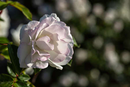 View of a blooming white rose flower head close-up on a background of green foliage Stok Fotoğraf