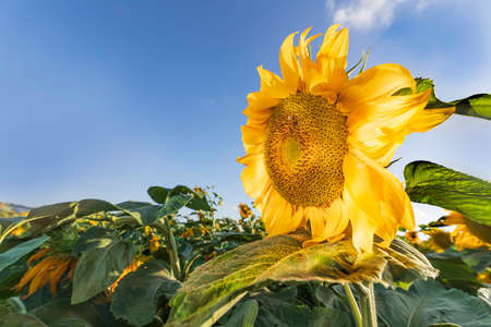Head of a blooming sunflower flower in sun light closeup on a background of green foliage