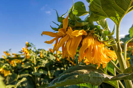 Side view of a blooming sunflower flower head closeup agains sky and green foliage Stok Fotoğraf