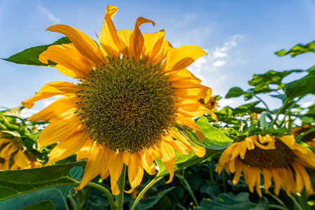Front view of a blooming sunflower flower heads close up agains sky and green foliage