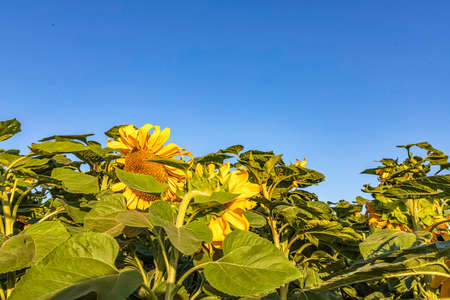 Blooming sunflower flower heads close-up against sky and green foliage Stok Fotoğraf