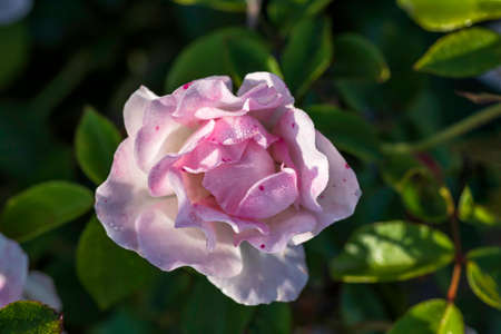 Top view of a blossoming pink and white rose flower with dew on petals close up on a background of green foliage