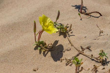 Yellow flower of beach evening primrose close-up in the sand dunes. Oenothera drummondii. Israel