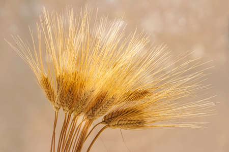 A bunch of ears of ripe golden wheat on a blurred bokeh background Stok Fotoğraf