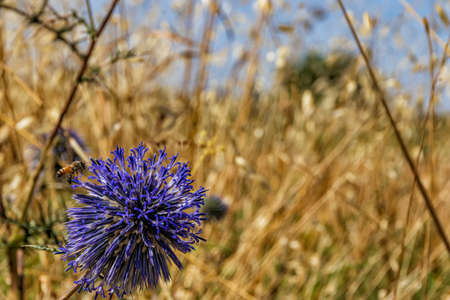 Violet Echinops bannaticus flower with bee over close up on yellow dry grass background