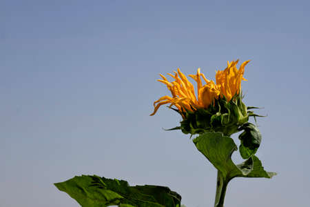 Head of a blooming sunflower flower close up on a background of blue sky and a field of ripe wheat