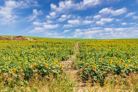 Agriculture field of blooming sunflowers against a blue sky on a sunny day. Plants on farm fields in the summer season Stok Fotoğraf
