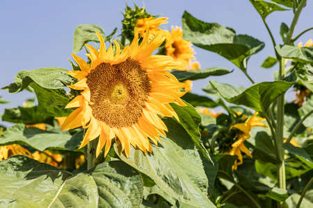 Head of a blooming sunflower flower close up on a background of green foliage Stok Fotoğraf