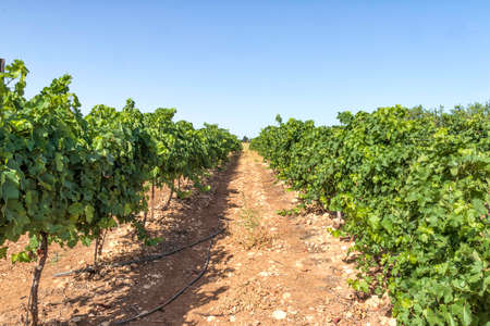 Rows of vine with unripe bunches of grapes in the vineyard closeup