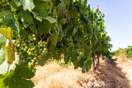 Rows of vine with unripe bunches of grapes close-up in the vineyard