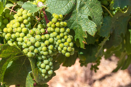 Large clusters of unripe grapes close-up in green foliage in a vineyard