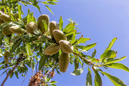 Almond tree branches with unripe fruits on a background of blue sky close-up