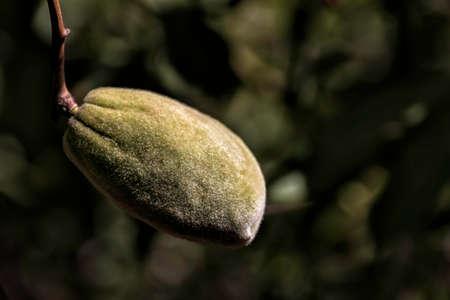 Unripe almond tree fruits in green foliage close-up Stok Fotoğraf