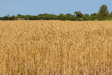 Field of golden ripe wheat with green trees on the horizon against a blut sky