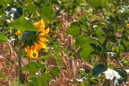 Decorative sunflower flowers close-up among ears of ripe wheat