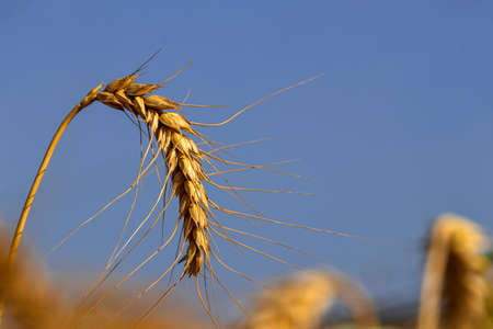 Yellow spikelet of ripe wheat close-up on a background of blue sky