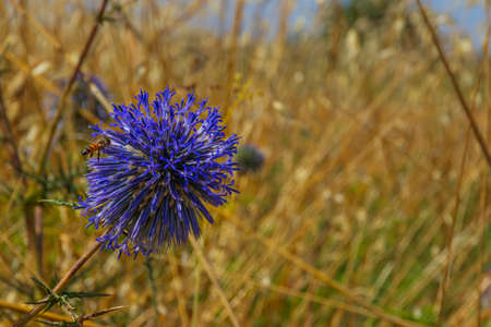 Blue southern globe thistle, Echinops flower close-up on a blurred background of yellow dry grass