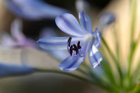 Delicate blue flower Lily of the Nile close up on a blurred background Stok Fotoğraf
