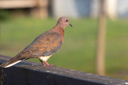 Laughing dove close up on blurred background