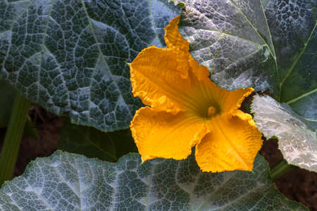 Yellow pumpkin flower close-up among large green leaves Фото со стока