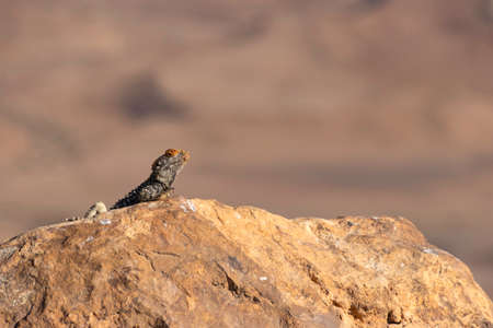 Single black lizard basking in the sun on a rock against the backdrop of the mountains of Crater Ramon. Israel