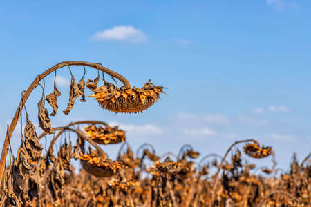 Dry sunflower head with ripe seeds against the sky Фото со стока