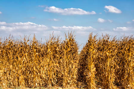 Rows of ripe golden corn on a background of blue sky with clouds. Israel