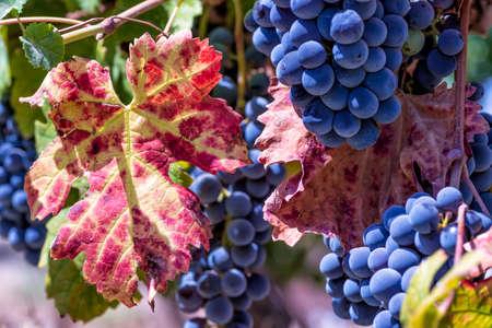 Ripe wine grapes and colorful autumn leaf close-up