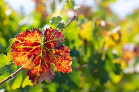 Colorful autumn leaf of grapes close up on blurred foliage background