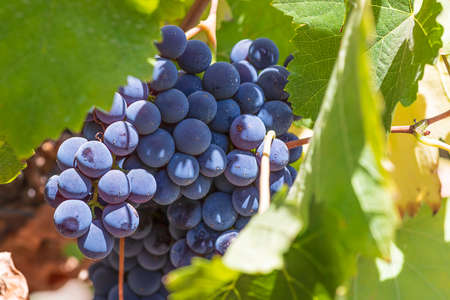 Ripe wine grapes among green foliage. Latrun vineyards. Israel Фото со стока