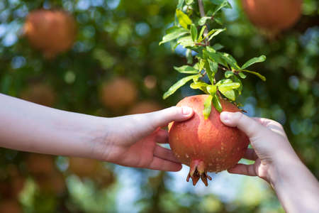 Childrens hands holding ripe pomegranate fruit hanging on a tree branch close up