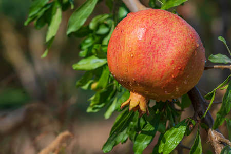 Ripe pomegranate fruit with rain drops on a tree branch close up