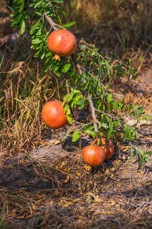 Ripe pomegranate fruits with rain drops on a tree branch with green leaves Фото со стока