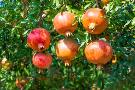 Ripening fruits of a pomegranate tree close up on a background of green foliage